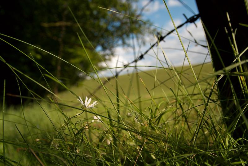 Sternmiere am Waldrand mit Weidezaun