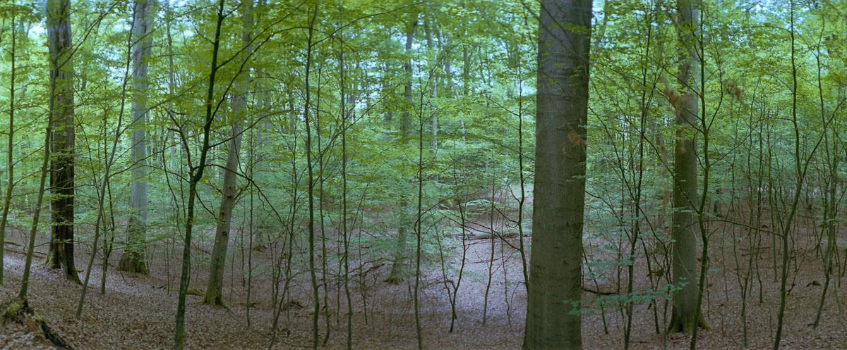 Buchen im Buchenwald und Weltnaturerbe Serrahn im Müritz Nationalpark, Foto mit einer Horizon 202 Panoramakamera