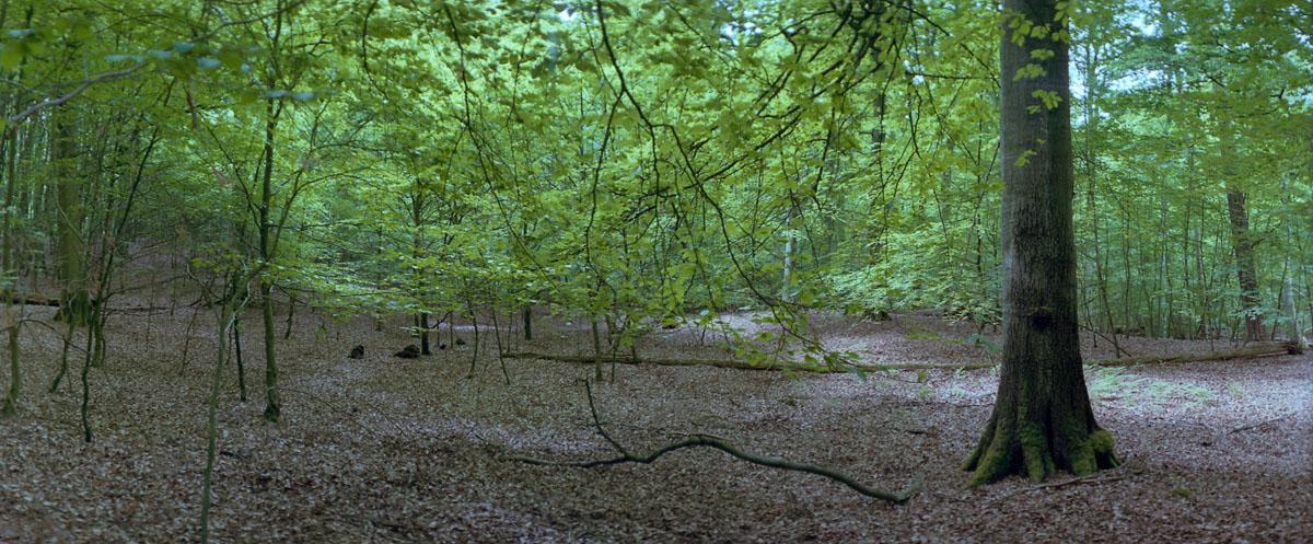 Buche im Buchenwald und Weltnaturerbe Serrahn im Müritz Nationalpark, Foto mit einer Horizon 202