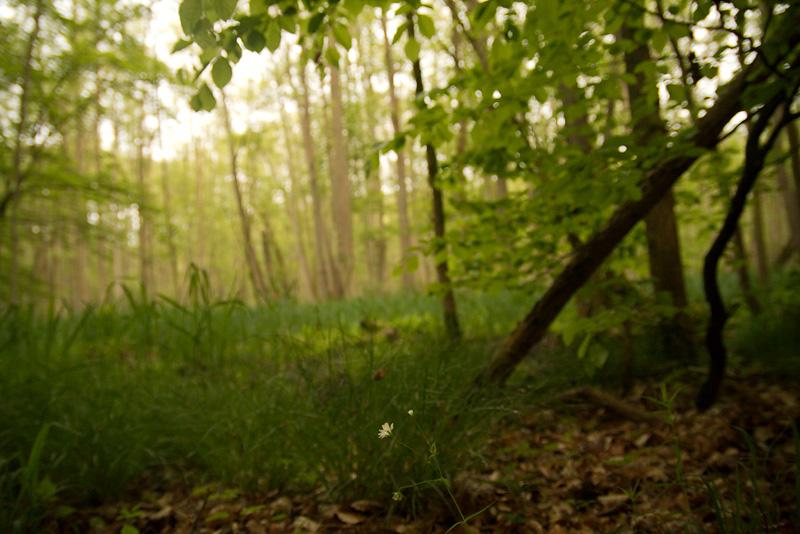 Waldsternmiere im Mischwald auf einer Lichtung