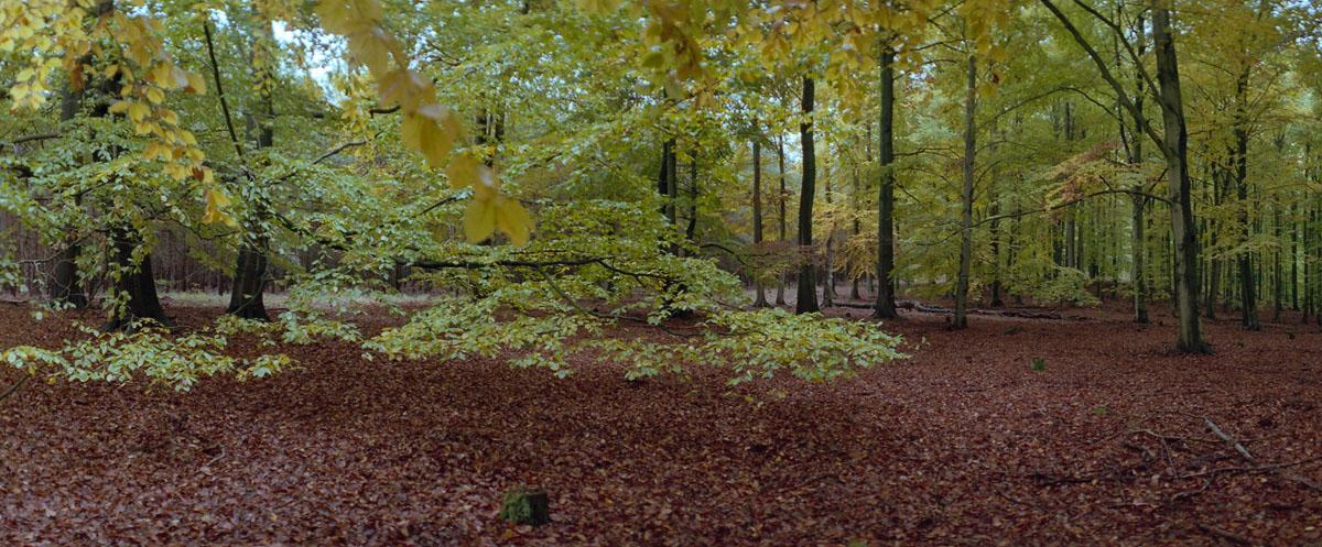 Buchen im Weltnaturerbe Buchenwald Grumsin, Foto mit einer Horizon 202 Panoramakamera
