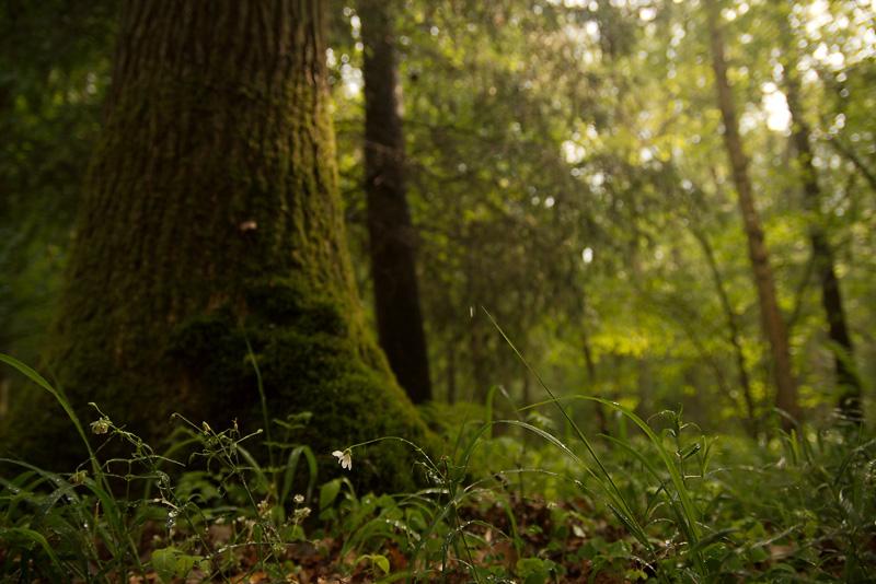 Sternmiere im Wald nach dem Regen