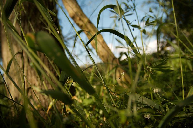 Sternmiere zwischen hohen Gräsern am Rande des Waldes