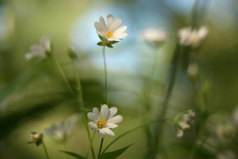 Blüten der Sternmiere im Laubwald