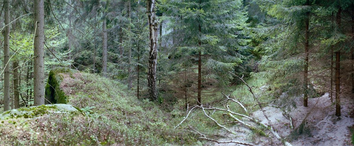 Nadelwald mit Birke im Nationalpark Sächsische Schweiz im Elbsandsteingebirge