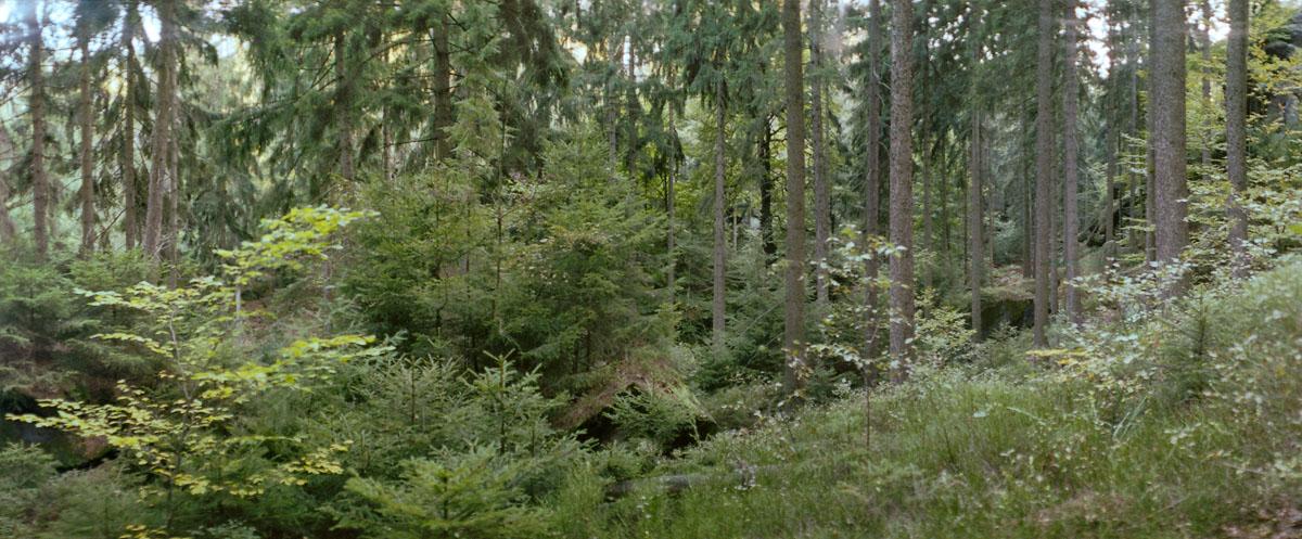 Nadelwald im Nationalpark Sächsische Schweiz im Elbsandsteingebirge